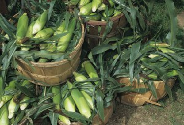 Harvested corn sits in baskets at a farmers market in 1999. Courtesy of USDA. Photo by Ken Hammond.