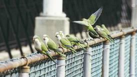 Parrots of Brooklyn